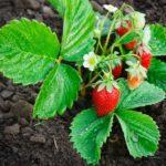 strawberry_plant_x1